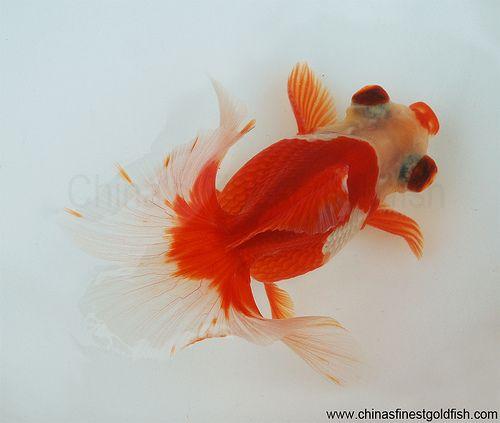 33+ Ikan mas koki tosakin information
