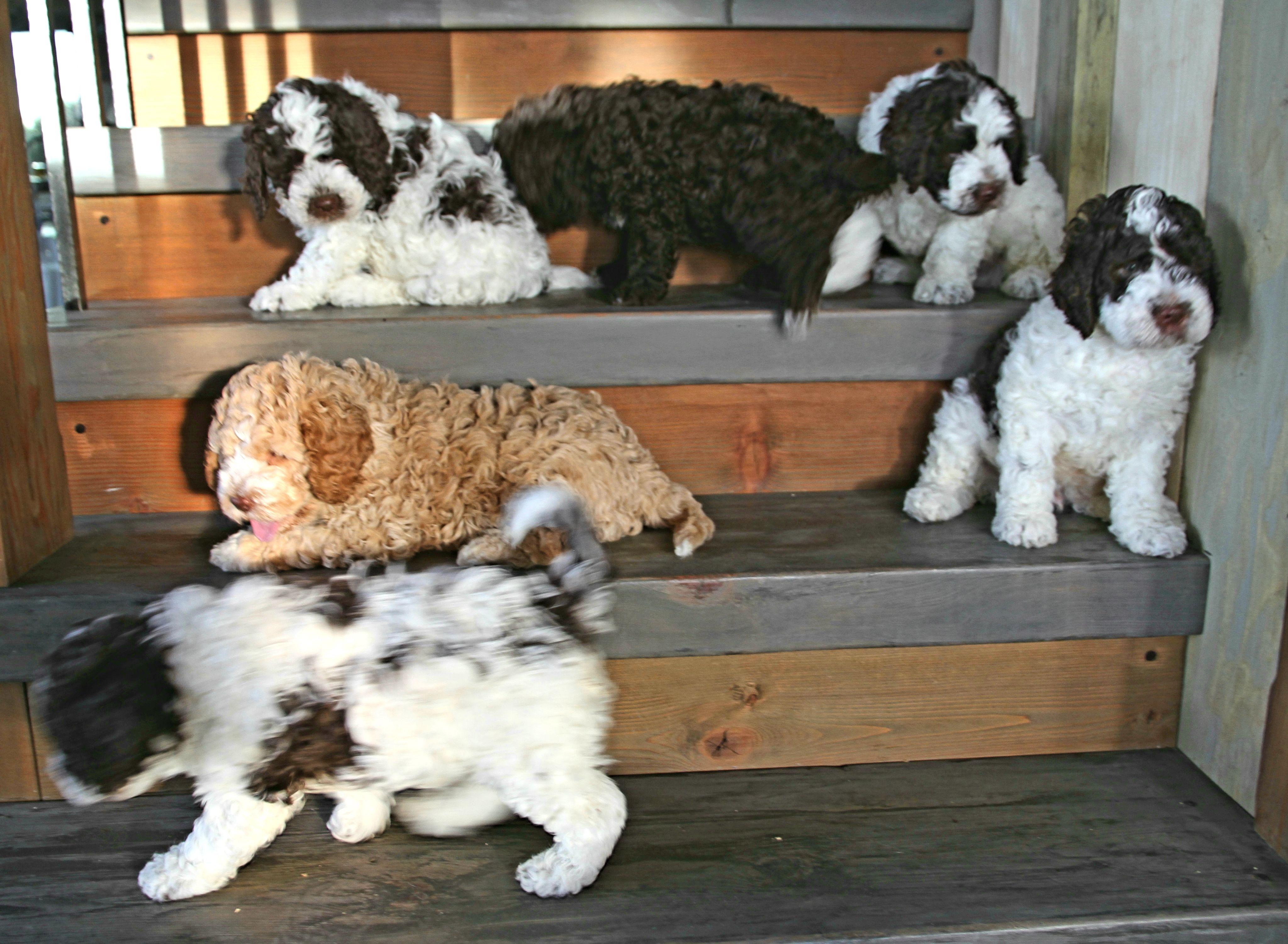 Lagottodistinguished Gmail Com Canada S Premium Lagotto Puppies We Work Hard To Provide The Best Lagotto Best Dogs For Families Hypoallergenic Dog Breed Dogs