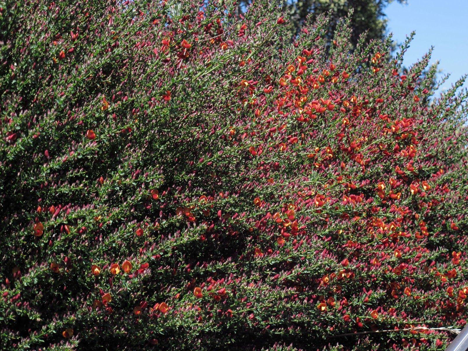 En el jardin viveros retama roja plantas pinterest for Vivero el jardin