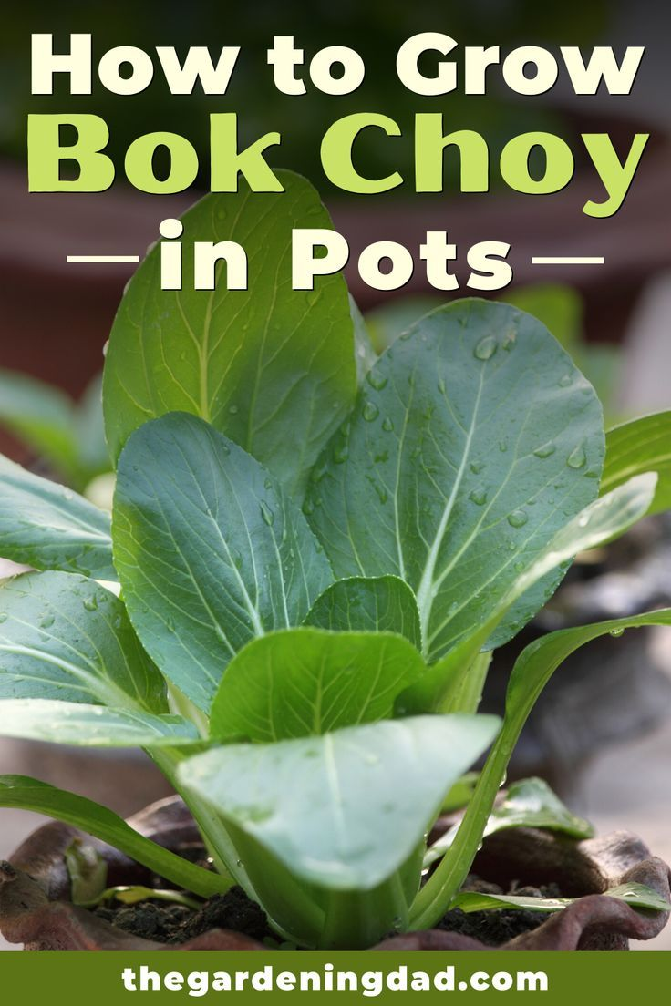 6 quick tips how to grow bok choy the gardening dad