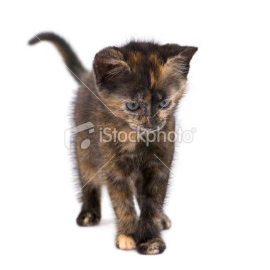Tortoiseshell kitten (2 months) Royalty Free Stock Photo