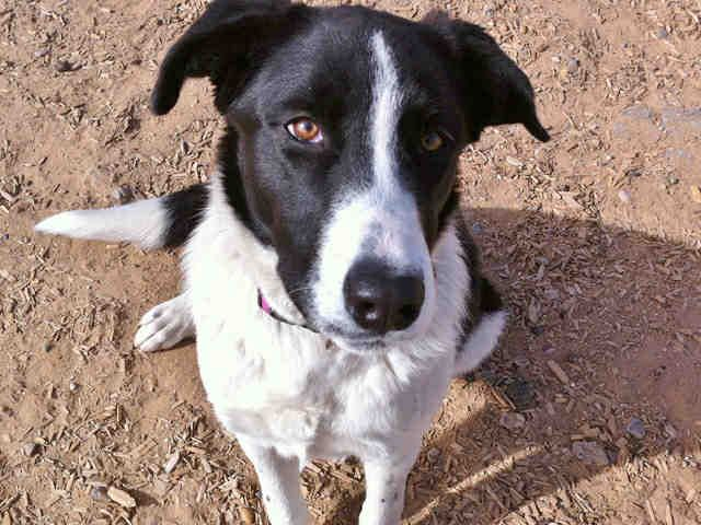 A1753150 Lizzy Is A 3 Year Old Female Border Collie Mix She Is A Playful And Outgoing Girl Who Is Very Active Lizzy Border Collie Mix Pets Kitten Adoption