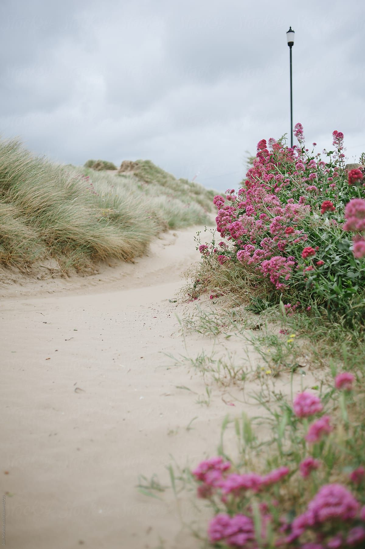 Path Lined With Flowers And Seagrass In Sand Dunes At The Beach Stocksy United Sea Grass Beach Beach Scenes