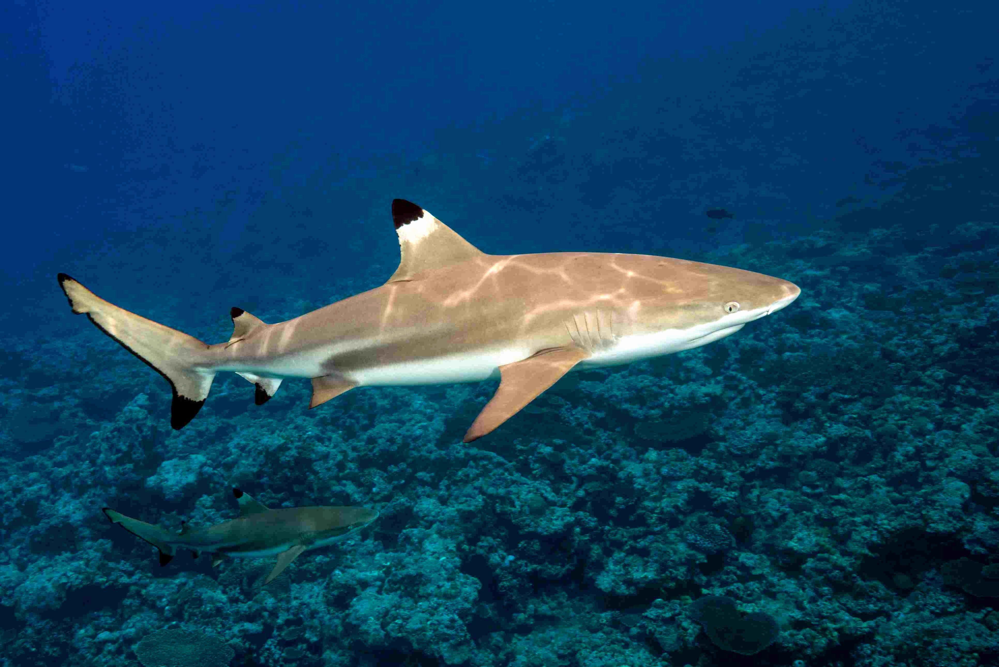 Blacktip Shark Coloring Pages Pics