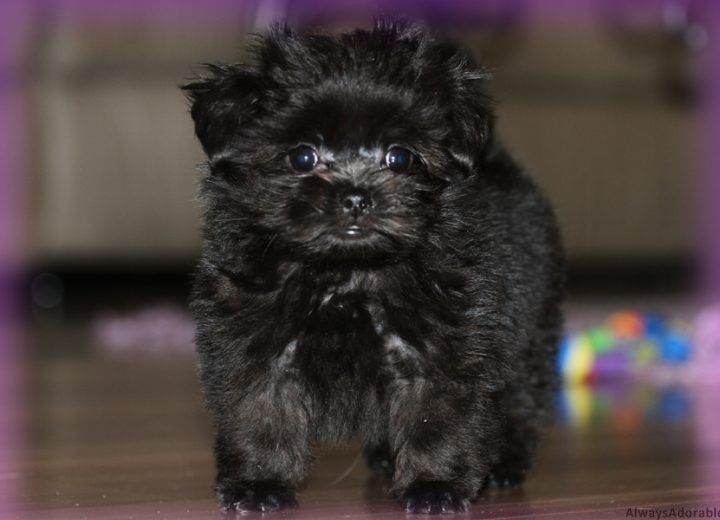 Miki puppies for sale, Toy Breed Puppy Nursery in Florida