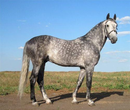 Орловский рысак Родоначальником породы стал арабский жеребец Сметанка, которого граф выкупил у турецкого султана за 60 тысяч рублей.