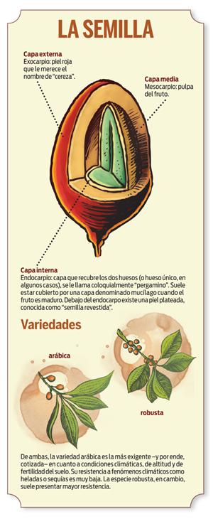 coffee Infografía café, Granos de café, Planta de cafe