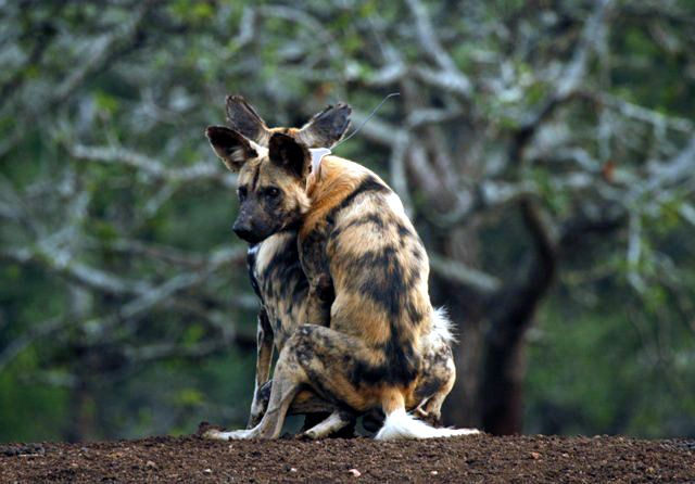 African Wild Dogs mating. Photo by Michelle Swemmer