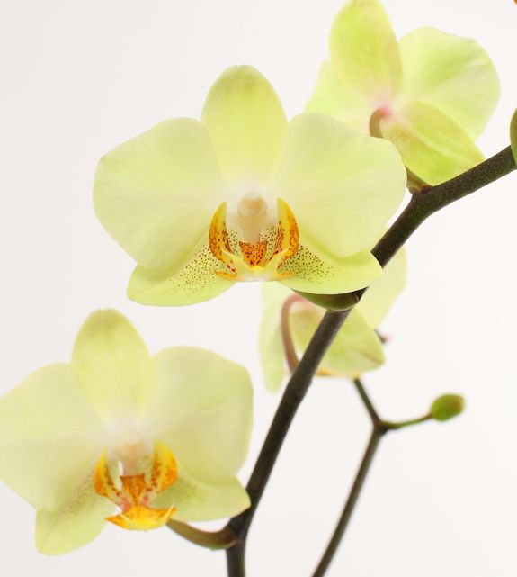 Diy Orchid Inspiration Yellow Orchid Diy Orchids Phalaenopsis Orchid