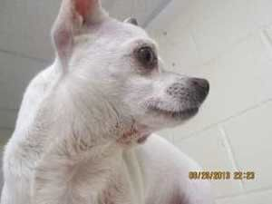 Pin On Adopt Chihuahua S To Forever Homes Now