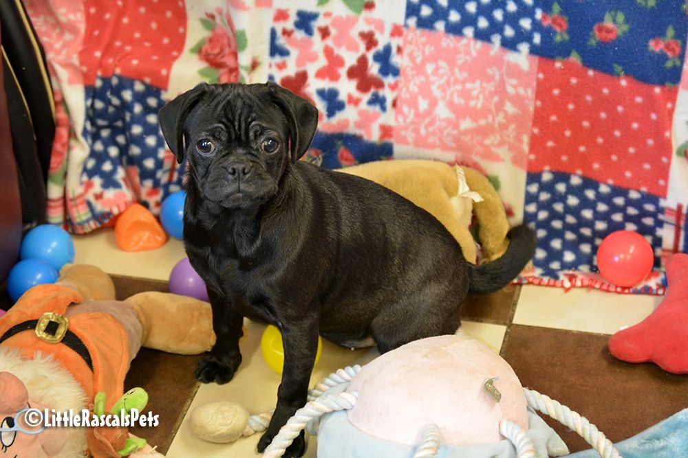 Pugalier Puppy For Sale Pug Puppies For Sale Pug Puppies Puppies