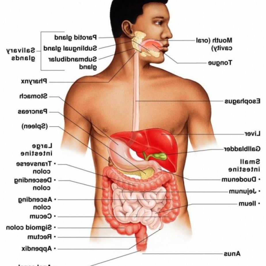 Male Human Anatomy Human Anatomy Pictures Pinterest Digestive