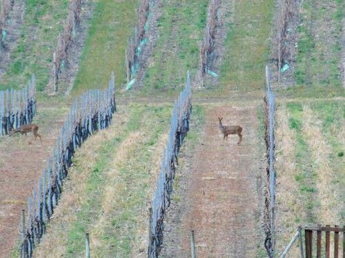 Des chevreuils entre les rangs de vigne devant notre maison d'hotes | #vignoble #cognac #bnb