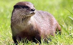 Bildergebnis für otters