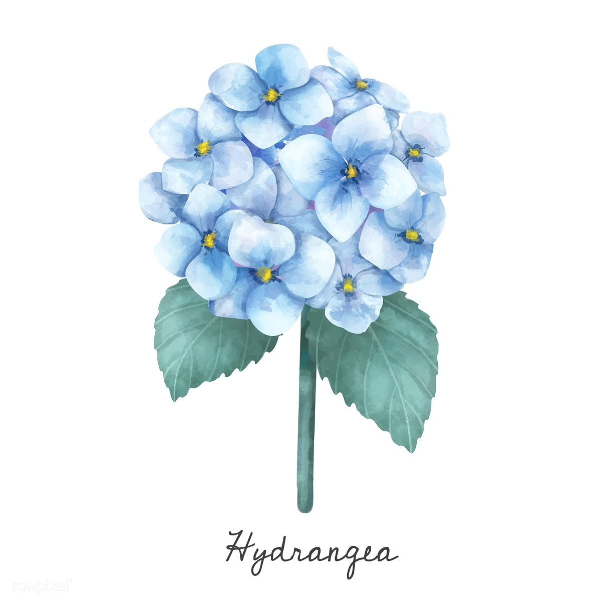 Illustration Of Hydrangea Flower Isolated On White Background Free Image By Rawpixel Com Flower Illustration Flower Background Wallpaper Plant Illustration