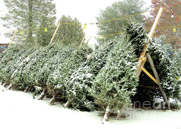 Christmas Trees For Sale.Christmas Trees By Janice Drew My Photography Christmas
