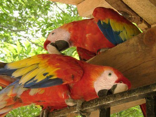 Macaws in Copan, Honduras