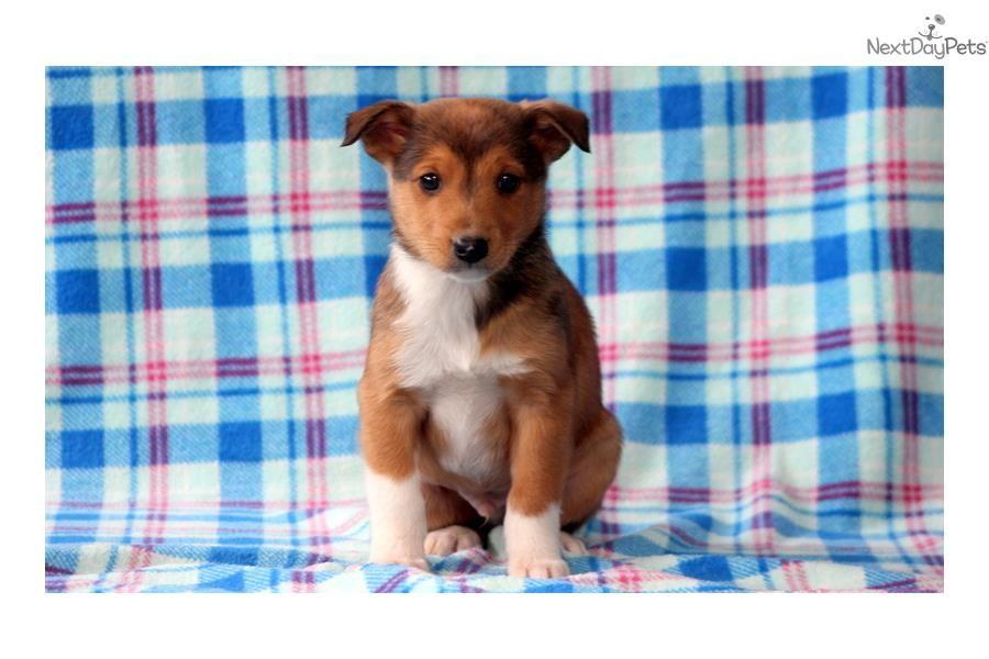 Collie puppy for sale near Lancaster, Pennsylvania