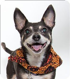San Luis Obispo, CA - Chihuahua Mix. Meet Hailey, a dog for adoption. http://www.adoptapet.com/pet/16891191-san-luis-obispo-california-chihuahua-mix