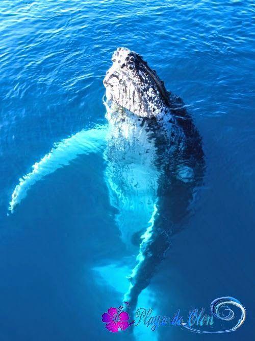 Ya en Ecuador. las Ballenas Jorobadas. | Wild | Humpback ...