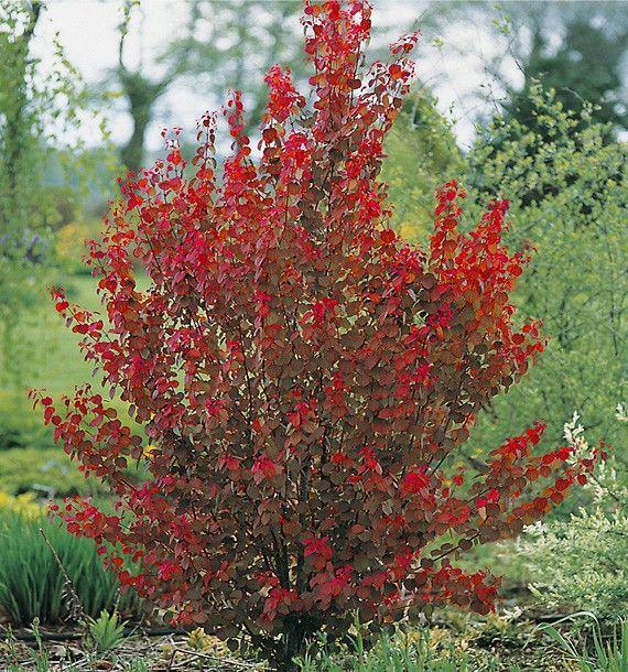 jacques briant vous propose son arbre a caramel ses fleurs vivaces rosiers arbres arbustes. Black Bedroom Furniture Sets. Home Design Ideas