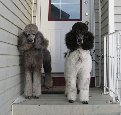 Grey Harlekin Poodle Puppy Clip Standard Poodle Poodle Dog