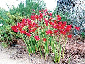 Rhodophiala Bifida Red Argentine Amaryllis Showy Easy To Grow