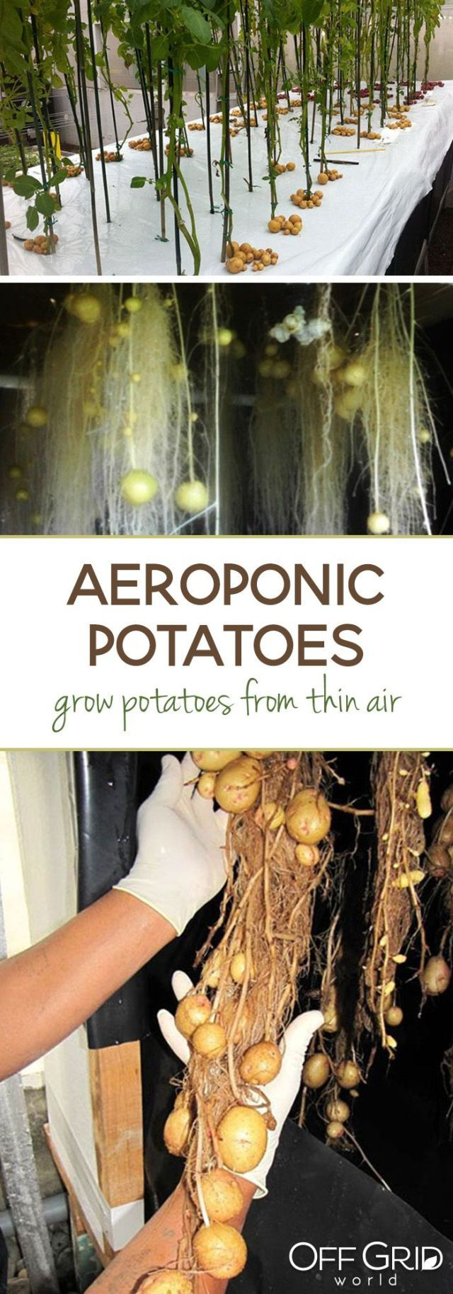 Growing Potatoes in Thin Air with Aeroponics #Aeroponics #Air #Growing #Potatoes #Thin #growingpotatoes