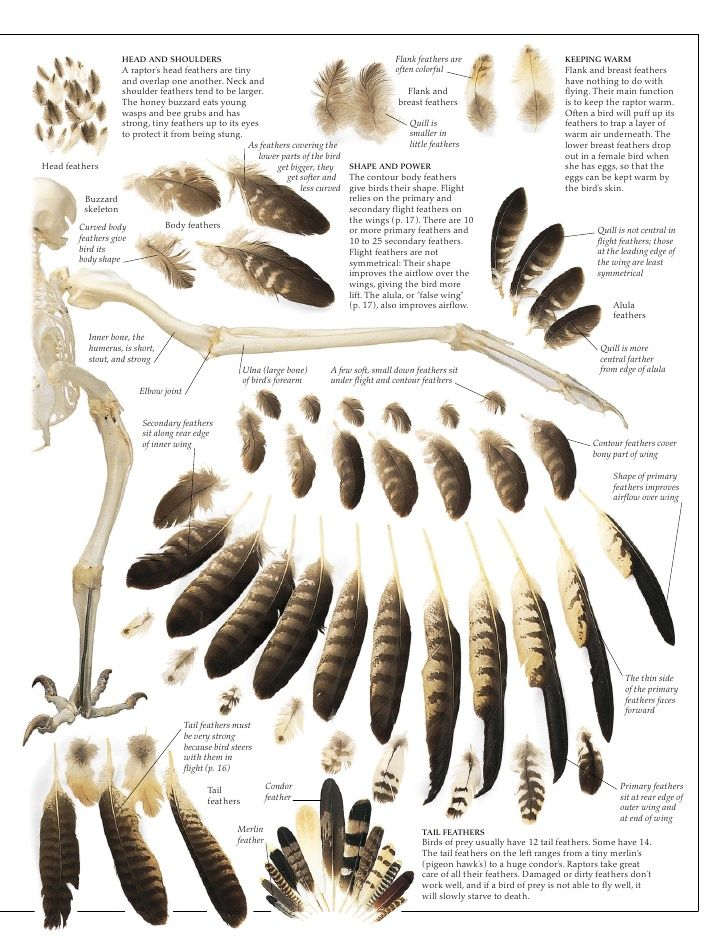 owl feather identification - Google Search | Feathers | Pinterest ...