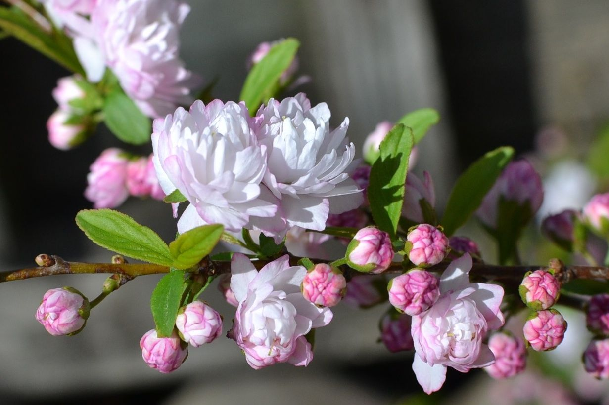 Flowering Almond Eden Hills S Blog Parrot Tulips Flowers Pink Flowers
