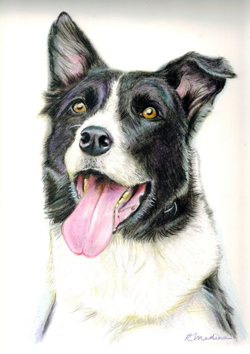 Drawing Of A Smooth Coated Border Collie See The Drawing Process