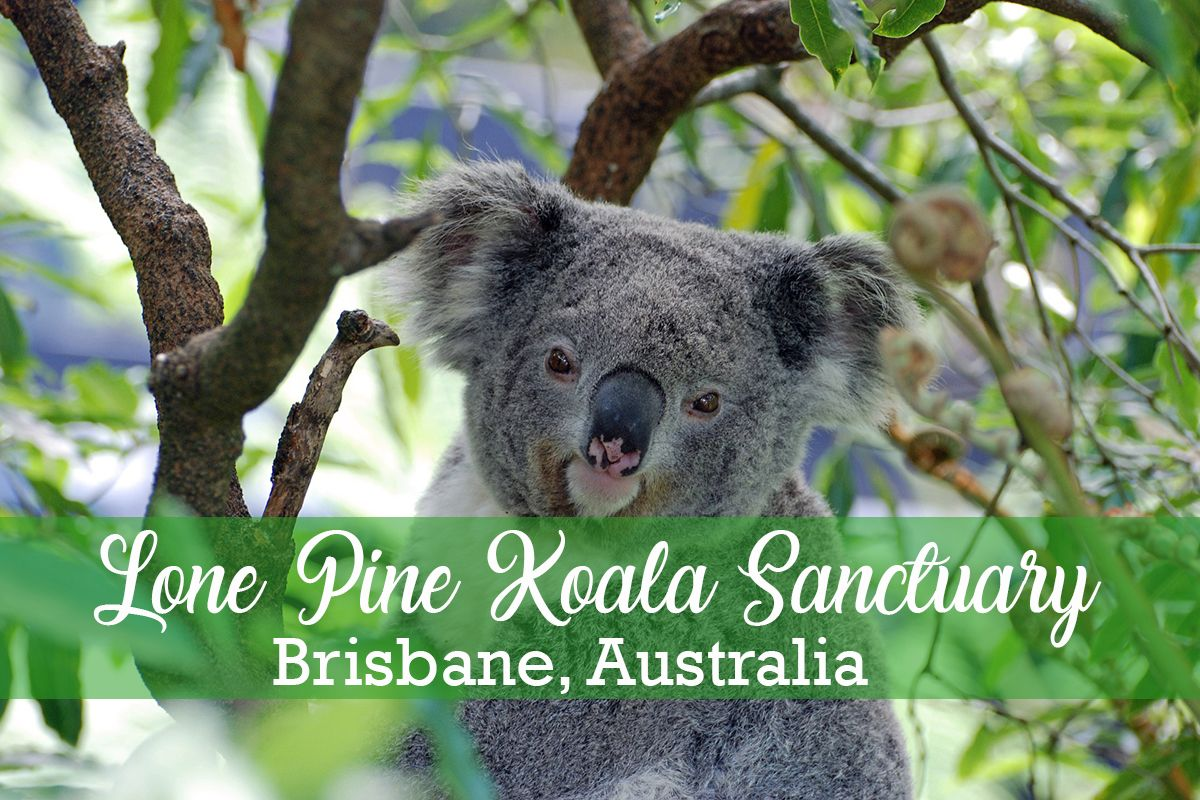 Hold A Koala At Lone Pine Koala Sanctuary In Brisbane Australia Missabroad Koala Bear Lone Pine Koala Sanctuary Koala