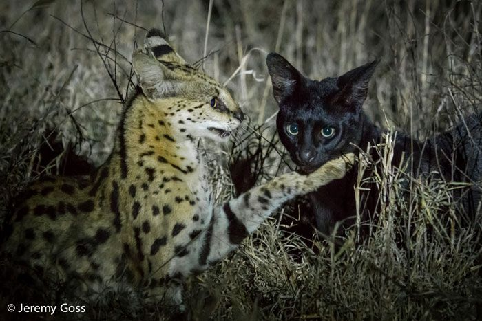 What happens when a serval and his melanistic brother meet in the night.
