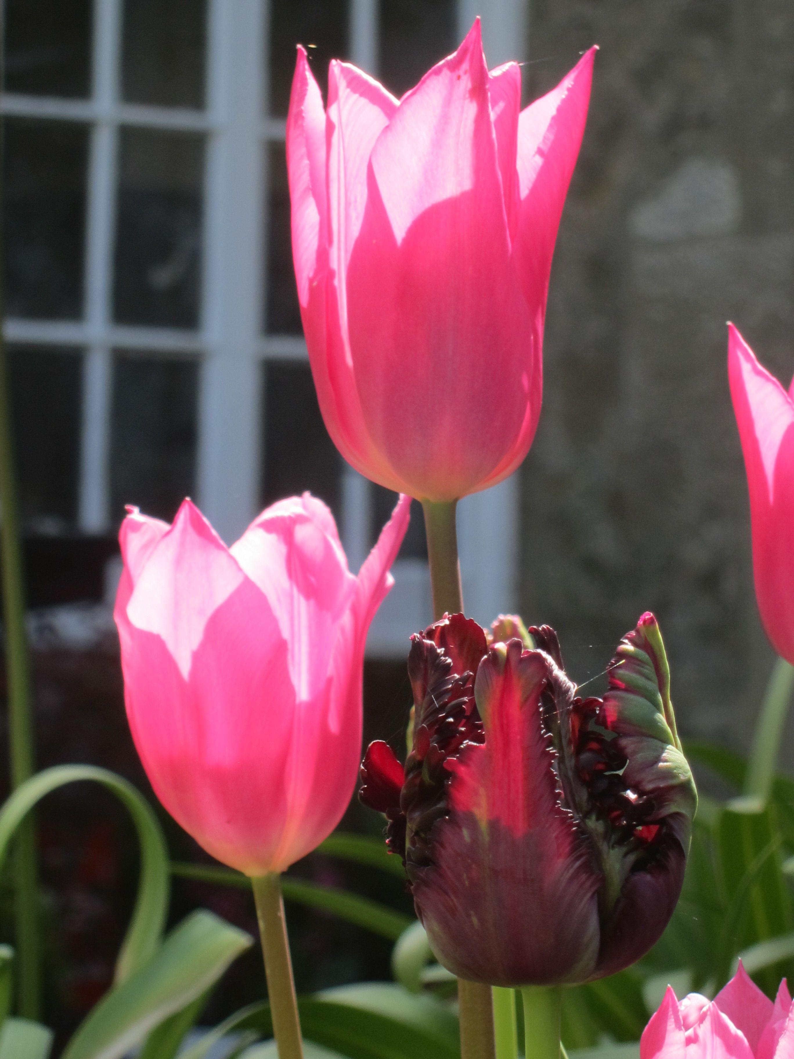 Tulipa China Pink Tulips Pinterest Gardens