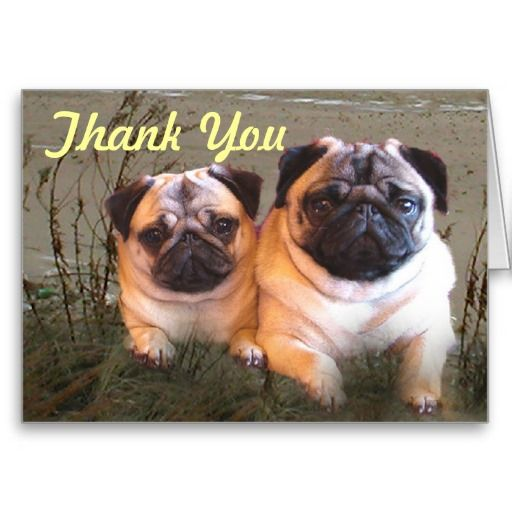 Pugs And Kisses Thank You Card Zazzle Com Pugs Kisses Pugs