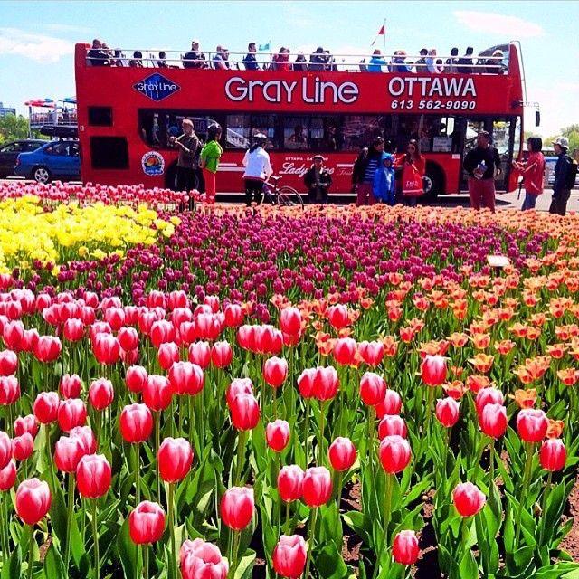 Pin On Ottawa Is Tulips