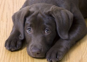 chocolate lab puppy light brown coat, loving
