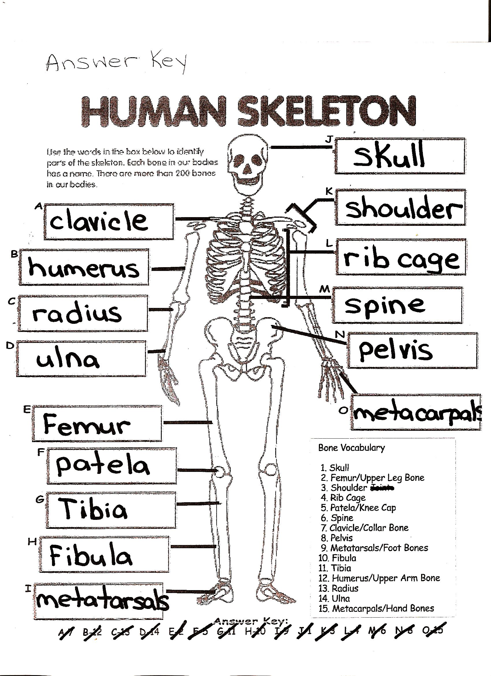 Another Skeleton Worksheet With Images