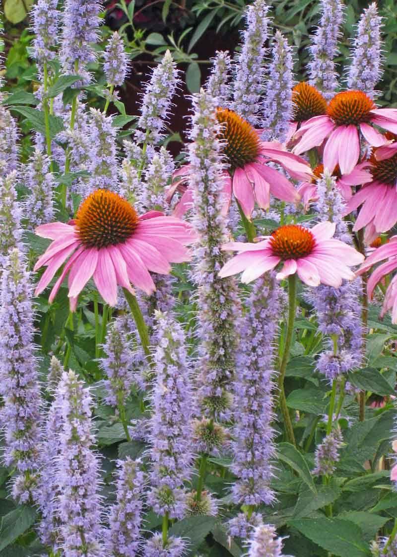 Echinacea Purpureaagastache Blue Fortune Web Jpg 800 1121 Plants Echinacea Purpurea Perennial Plants