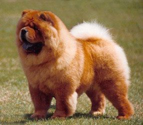 Chow Chow Known For Their Blue Purple Tongues Chow Chow Dogs