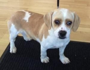 Adorable Beagle Puppy Looks Right At The Camera Now Watch Her