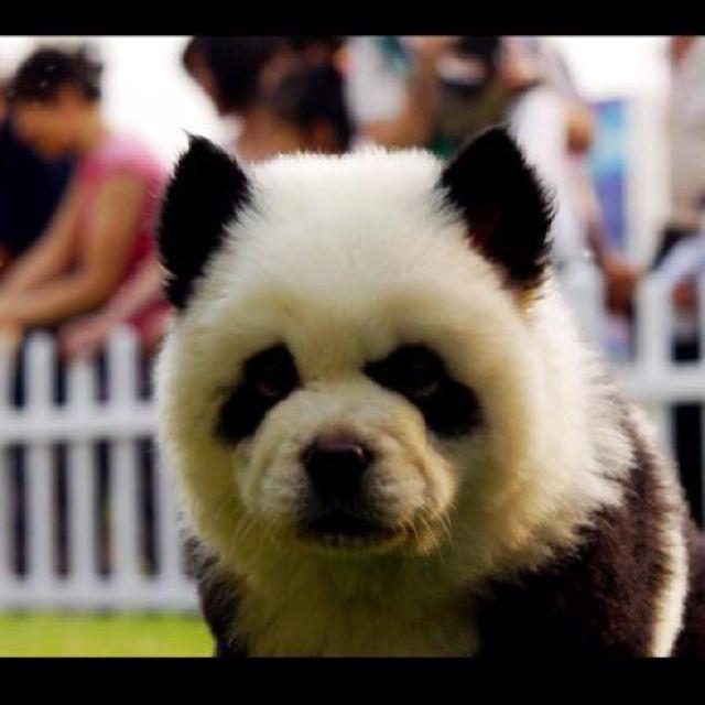 Chow Chow Panda It S A Dog Omg Panda Dog Panda Puppy Cute