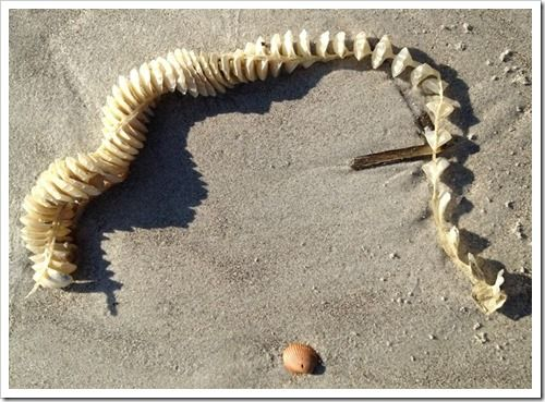 Eggs from a large snail (Knobbed whelk) are in the compartments of this spine-like strand on Hilton Head beach.