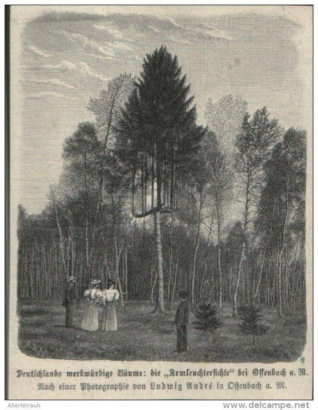 Die Armleuchterfichte Bei Offenbach A M Druck Entnommen Aus Zeitschrift 1896 Artikelnummer 413997141 Zeitschriften Drucken Und Fichten