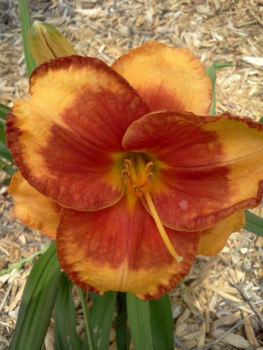 Light Cinnamon with Red Center ours