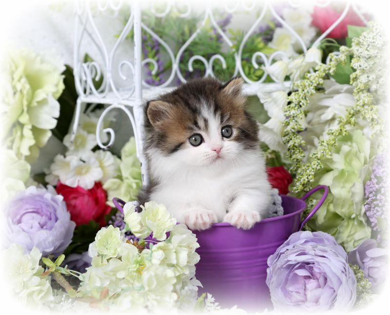 Beach Baby Shaded Golden Tabby White Rug Hugger Kitten