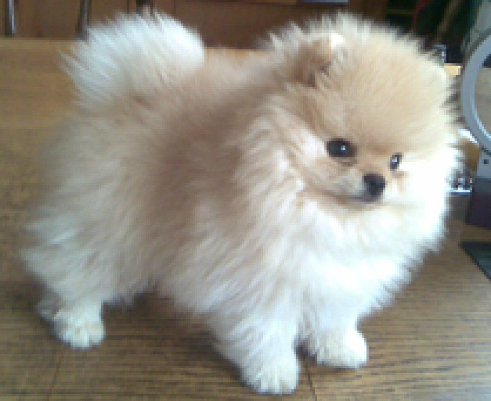 Image Result For Pomeranian Color Chart Cute Animals Pinterest