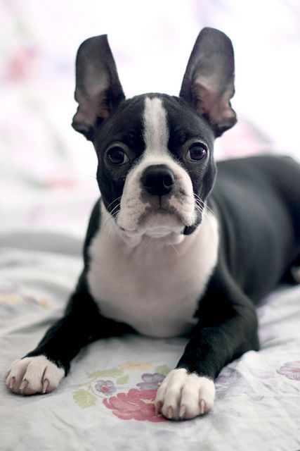 what does a boston terrier look like boston terrier omg he looks like booger animals 3067