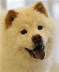 Chewy Is An Adoptable Chow Chow Dog In Columbus Oh Primary Color