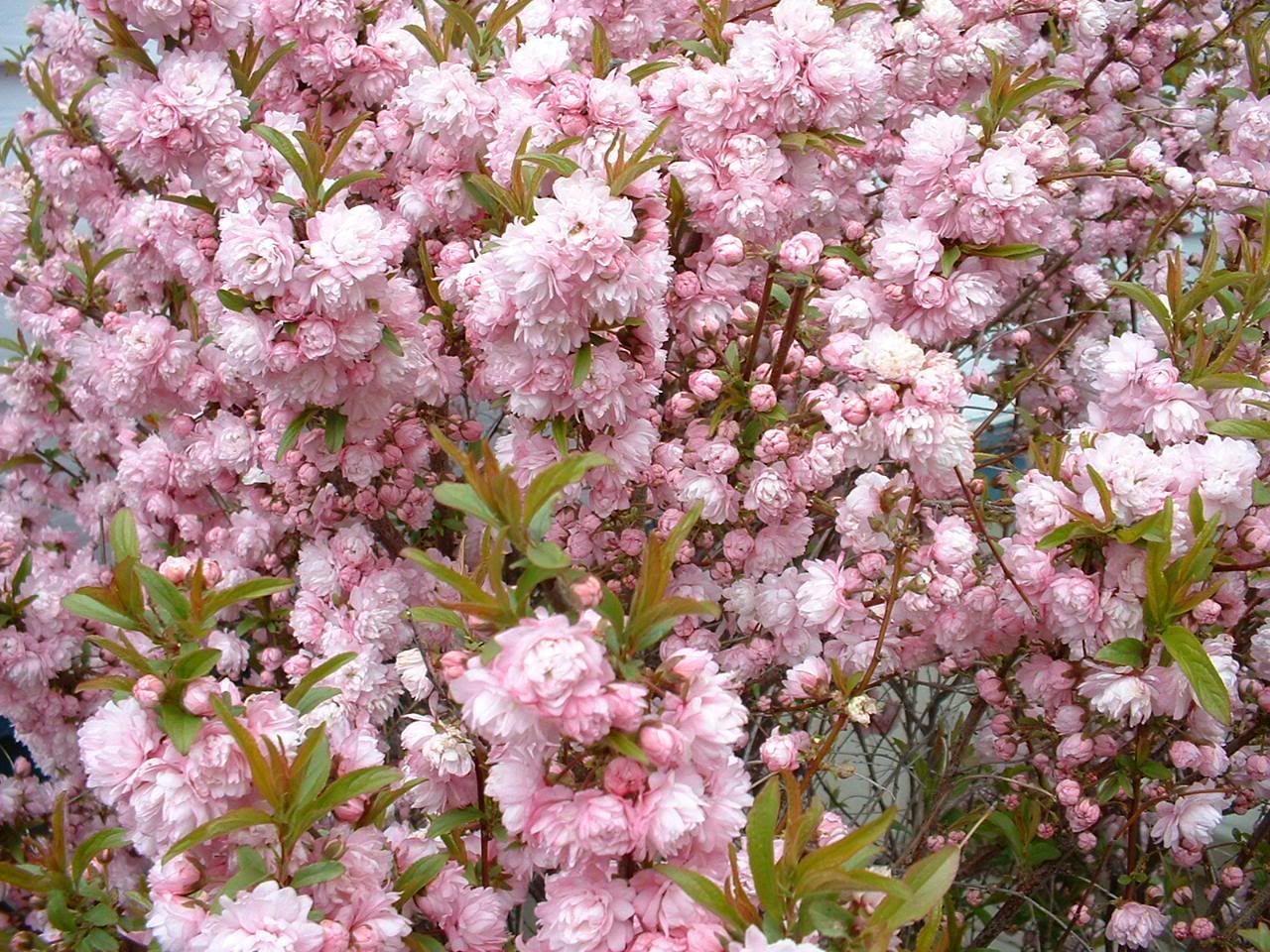 Pink Flowering Almond Bush Trees Pinterest Almonds Gardens